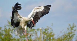 ptice selice - roda