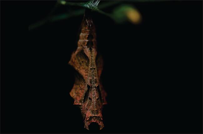 larva leptira