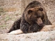 Medved i kruška