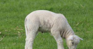 jagnje pase travu