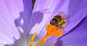 pčela na cvetu