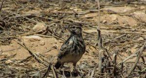 Ševa ptica