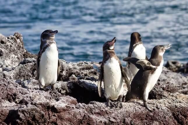 pingvini sa galapagosa