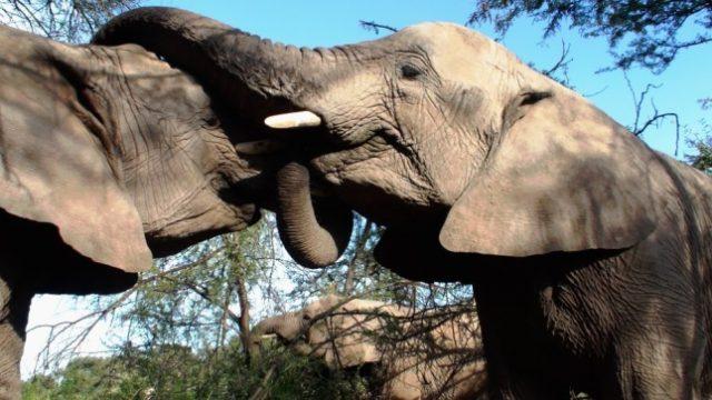 ljubav slonova