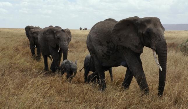krdo slonova