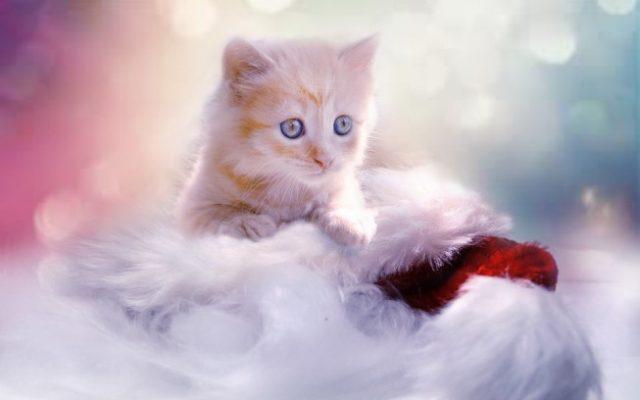 maca prelja