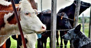 farma krava