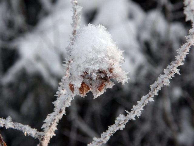 biljka pod snegom i ledom