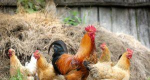 Zanimljivosti o kokoškama