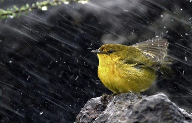 ptice meteorolozi