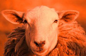riđa ovca