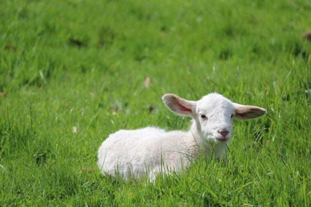 Belo jagnje