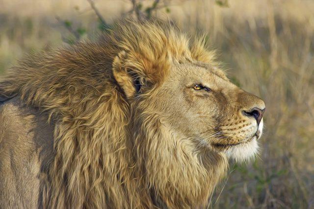 Lav i čovek