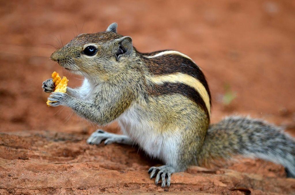 Indijska prugasta palmina veverica