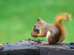 Veverica