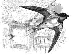 lastavice-ptice-u-letu